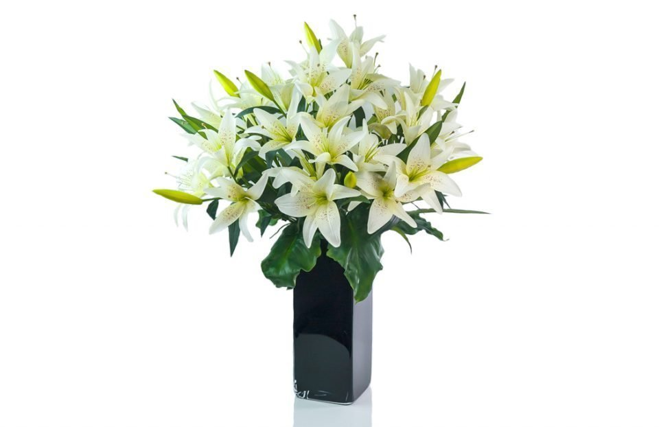 King cream lily in a black vase with dark calla leaves.